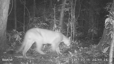 Puma (Fellis concolor)