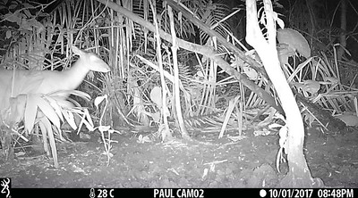 Deer at saladero