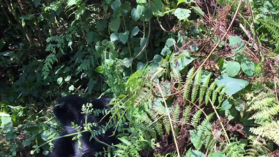 A baby gorilla rolling around. Don't miss at about 55 seconds when I pan the camera and realize I'm about to get run down by a silverback. But I get out of the way just in time.