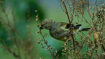 American Goldfinch eating seeds, September 17, 2016
