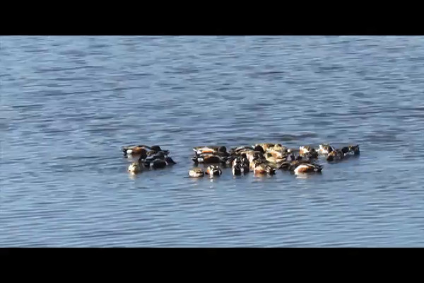 Northern Shovelers (video 2)