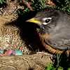 Robins - Eggs to Fledging