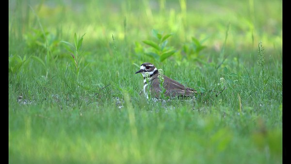 Killdeer Chick Returns to Mom
