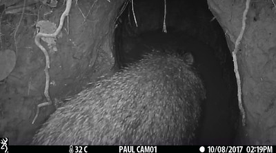Peccary at mud hole