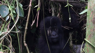 "In this video, I'm trying to coax the baby gorilla from the den. A sleeping silverback in the background eventually wakes up and doesn't like me being so close... and lets me know it by charging from the den and taking a stance that says ""I'm in charge here!"" The noises you hear are the guide signaling to the silverback that we are no threat and the silverback eventually sits down and begins eating."