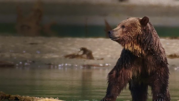 The Bears of Bute Inlet