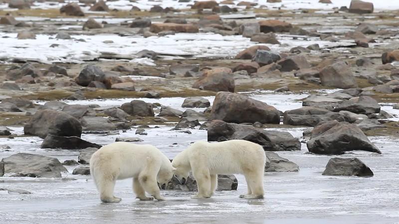 Thirsty Polar BearsTry To Break Through Ice