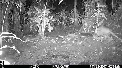 9-banded armadillo (Dasypus novemcinctus)