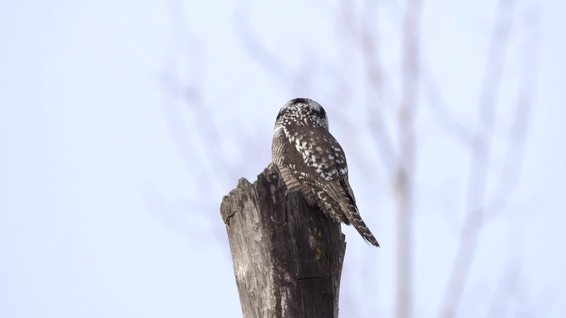 Northern Hawk Owl Observing His Surroundings