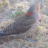 Northern Flicker aerating our lawn.
