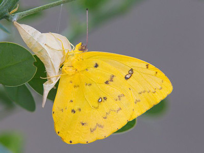 Orange-barred sulfur caterpillar munches its way to its chrysalis, and emerges as a beautiful butterfly.