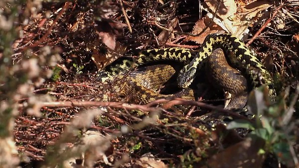 Adder, Norfolk, UK