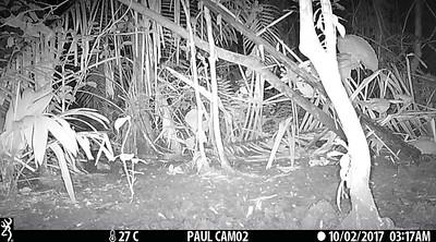Terrestrial Tapir (Tapirus terrestris) at an artificial salt llick