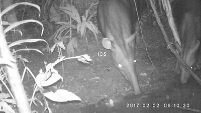 Tapir (Tapirus terrestris) with young at Saladero