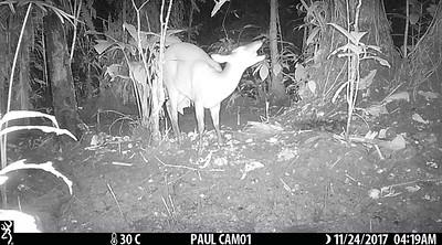 Deer eating fruits