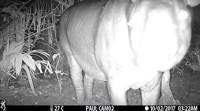 Terrestrial tapir (Tapirus terrestris)