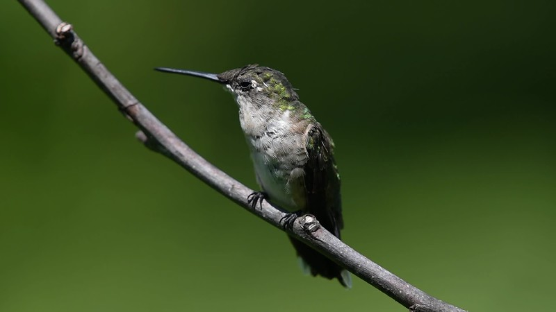 A Ruby-Throated Hummingbird 8/23/18