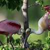 Spoonbill Cranes Build Nest