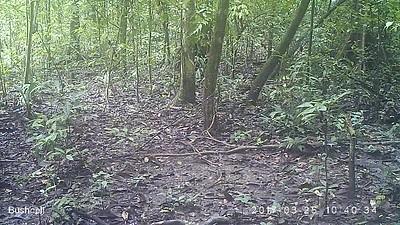Tapir (Tapirus terrestris)
