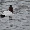Canvasback, Etherington Pond, Biddeford, Maine, US 03/25/17