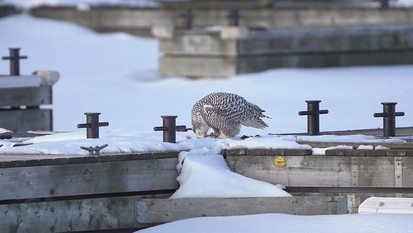 Dinner for Snowy Owl