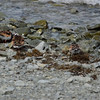 Ruddy Turnstones at Beachside, Newfoundland, CA