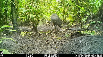 Peccary herd eating fruits