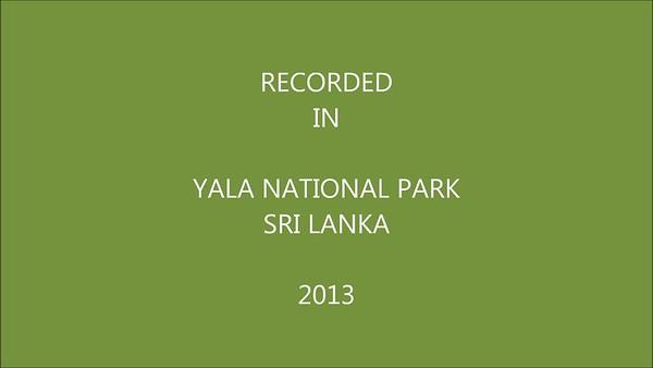 Yala - Sri Lankan Elephant