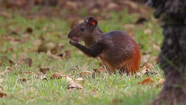 Brown Agouti, Devil's Island, French Guiana