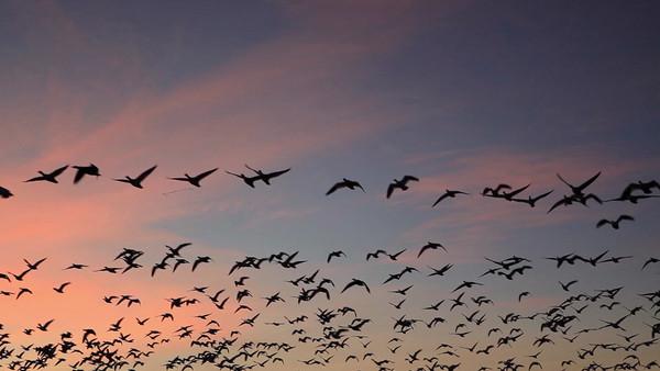 Snow Geese Blastoff - Bosque Del Apache