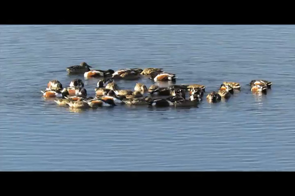 Northern Shovelers (video 1)