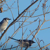 Blue Jays Courting