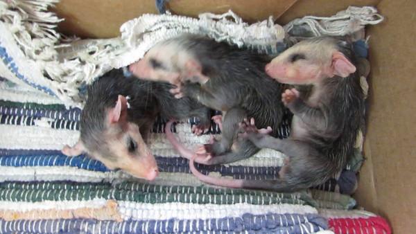 Possum Pups
