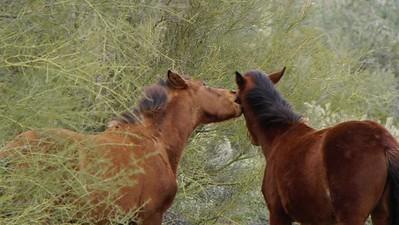 Wild Horses on the Salt River