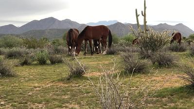 Wild Horses on the Verde River Arizona