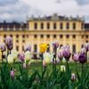 Schönbrunn tulips