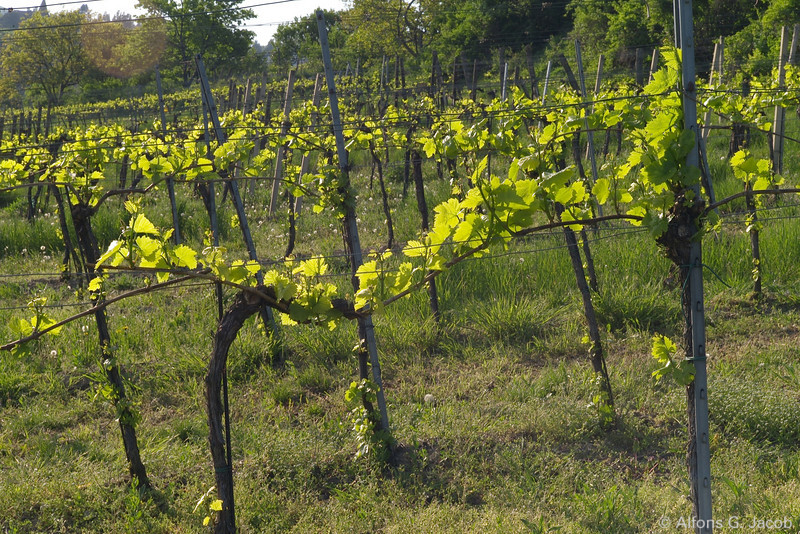 "Vineyards at the ""Wildgrube"", Vienna, Austria"