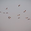 Vol de Flamants roses en Camargue