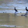 L'attente des cormorans de l'Isère