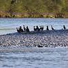 Rassemblement de cormorans en fin d'après-midi.
