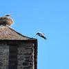 Cigogne d'Alsace, assez urbain comme bestiole !<br /> Photo prise au petit compact.