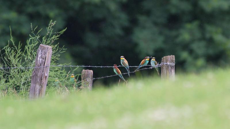 Guêpier d'europe, oiseau magnifique en limite d'aire de répartition en Savoie.<br /> L'objectif était de ne pas déranger la nidification, du coup photos prises de trèèeeesss loin.