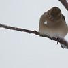 Les pinsons regardent tomber la neige... période photogénique, mais pas une partie de plaisir pour les petits oiseaux.