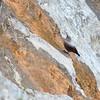 Le Tichodrome, oiseau mythique des falaises, très coloré et pourtant si discret