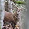 Cerf forestier au coeur du brame
