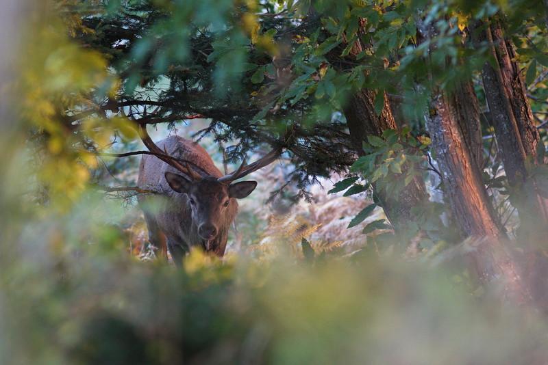 Les derniers rayons de soleil sur le roi de la forêt.