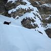 Grosse neige : pas facile pour les chamois...