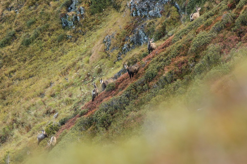 Chamois d'automne, magnifiques, prêts pour l'arrivée de l'hiver.<br /> Malheureusement il faudra d'abord passer au travers des balles des chasseurs postés un peu partout sur les crêtes ce jour-là...