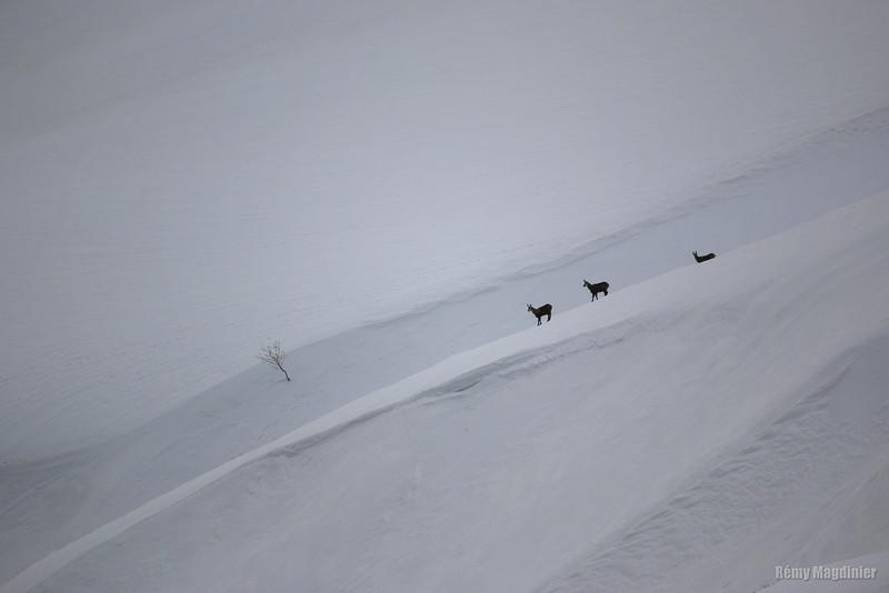 Fin d'hiver pour les chamois, la vie va redevenir plus facile.
