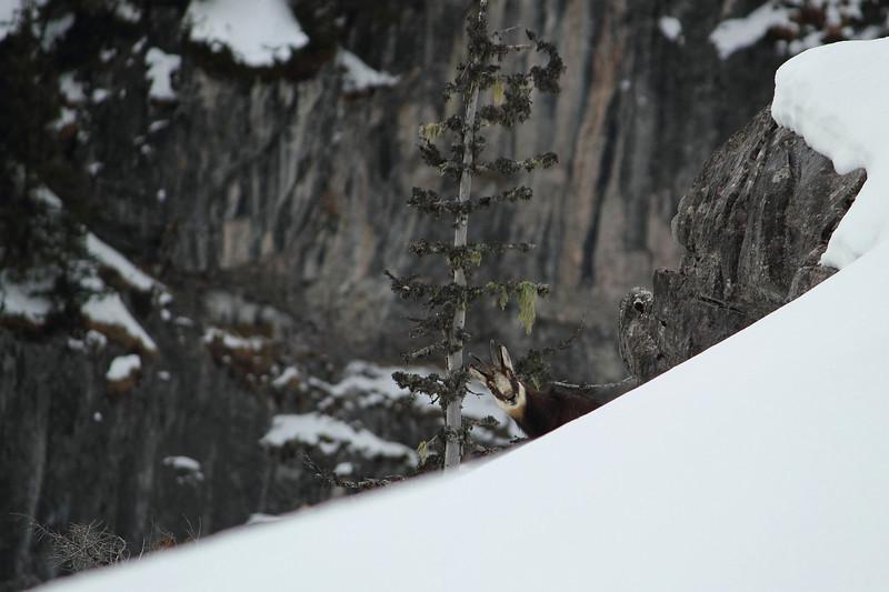 Nez à nez avec ce chamois lors d'une balade hivernale